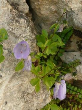 campanula_cochleariifolia