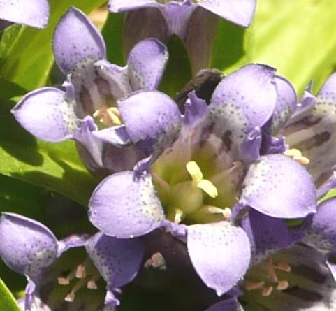 Gentiana cruciata1