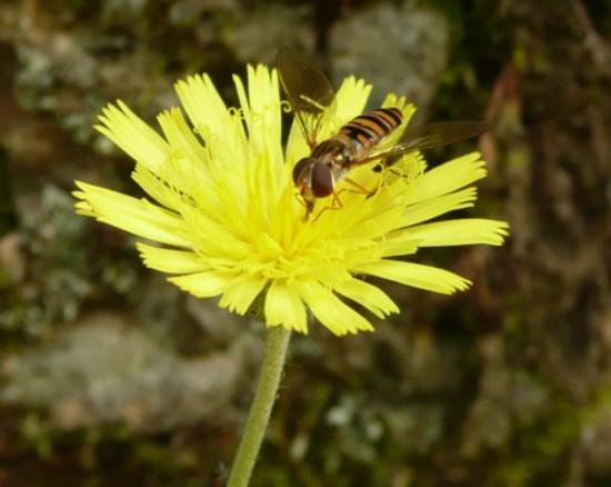 abeille1