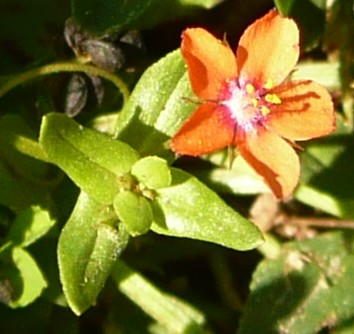 anagallis-arvensis1.jpg