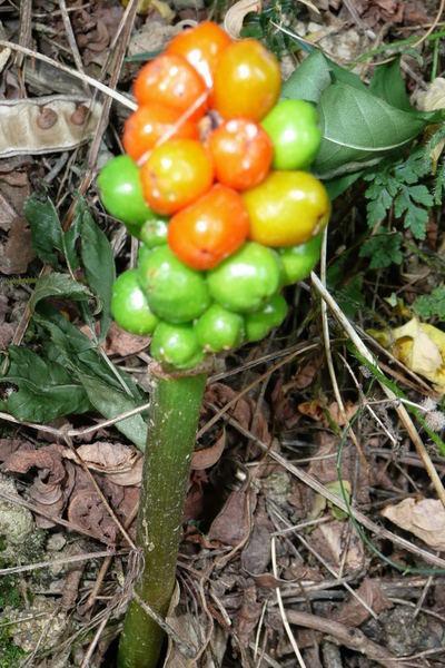arum-maculatum.jpg