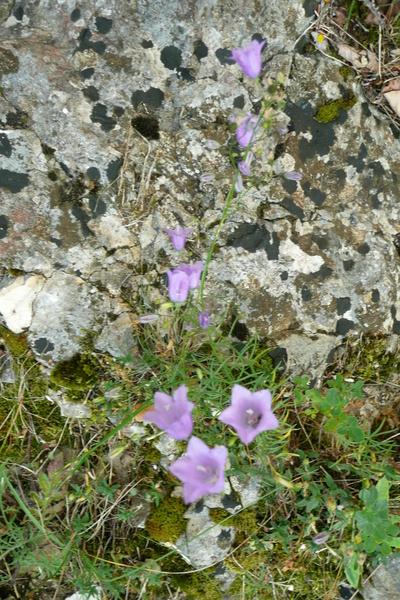 campanularotundifoliamo7.jpg