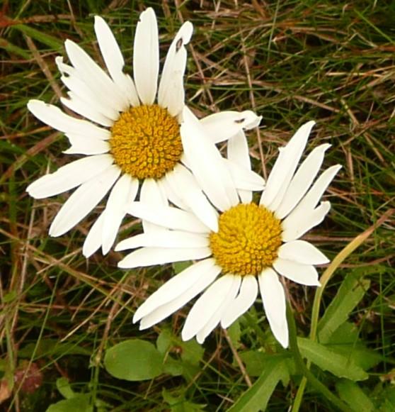 chrysanthemumleucanthem.jpg