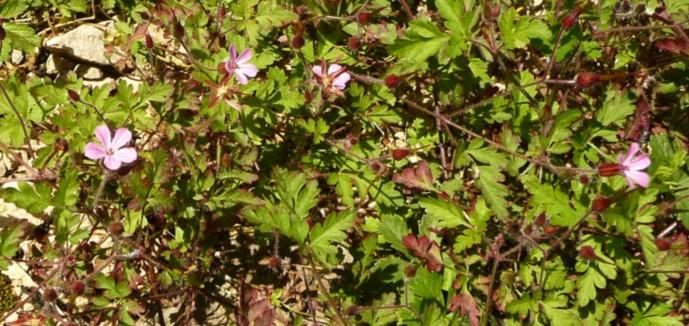 geraniumrobertianum1wl0.jpg