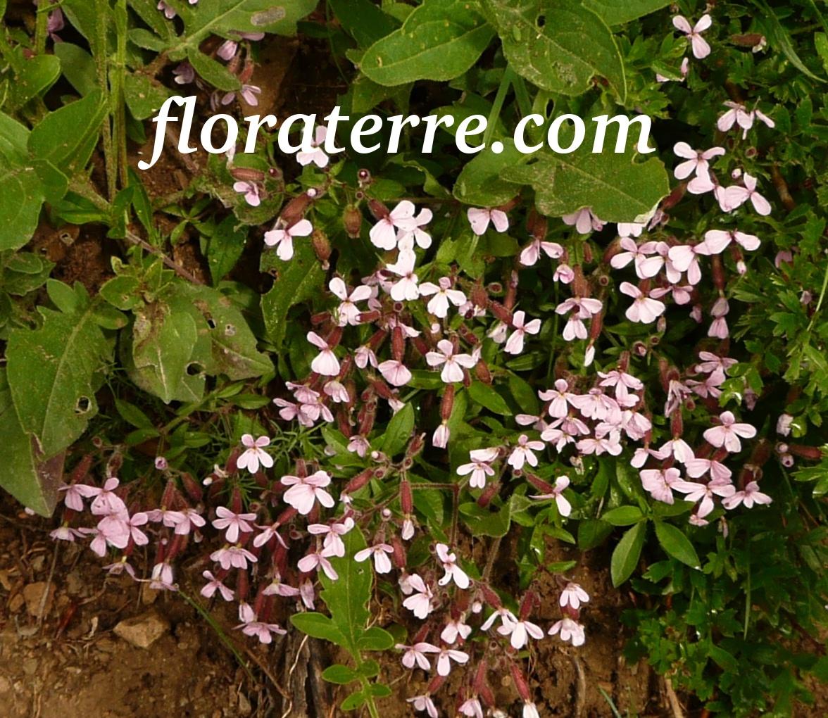 saponaria-ocymoides.jpg